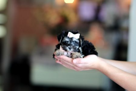 Morkie Puppies For Sale Teacup Puppies Store Morkie Puppies