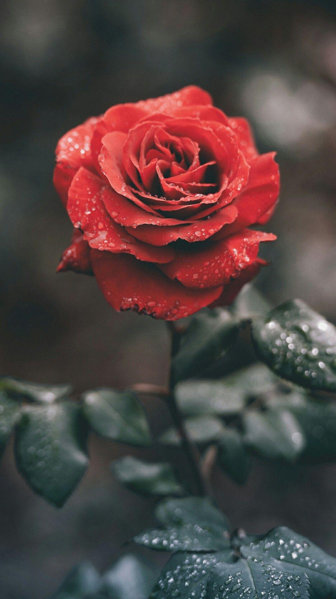 Brilliant Foto Rose Wallpaper Flower Wallpaper E Wallpaper