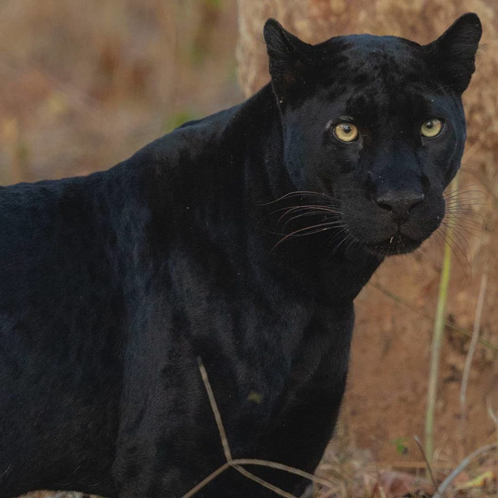 Top wildlife sanctuaries to spot a Black Panther in India