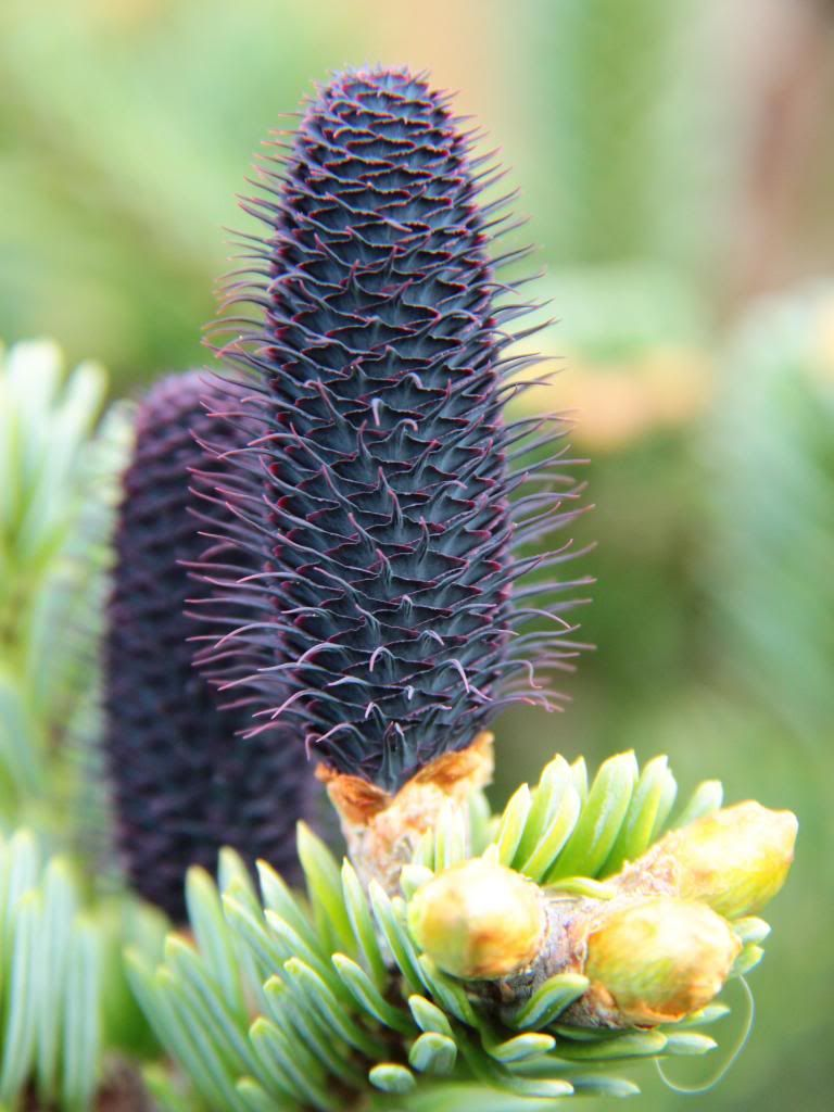 Abies Squamata Spring Cone Via Gardenweb Cool Conifers Conifer