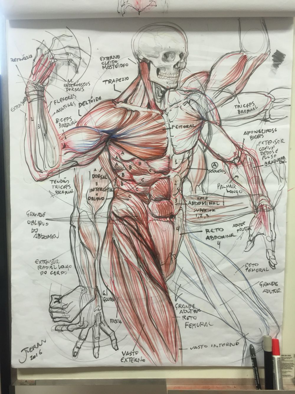 Pin By Wccomn On Anatomy In 2019 Anatomy Drawing Leg Muscles