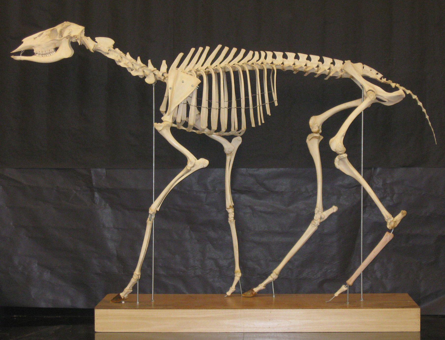 Deer skeleton ... | Animals Etc. | Pinterest | Skeletons ...