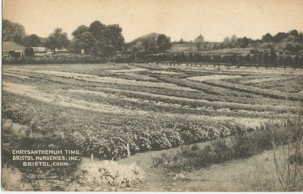 Chrysanthemum Time Bristol Nurseries Inc Connecticut Postcard