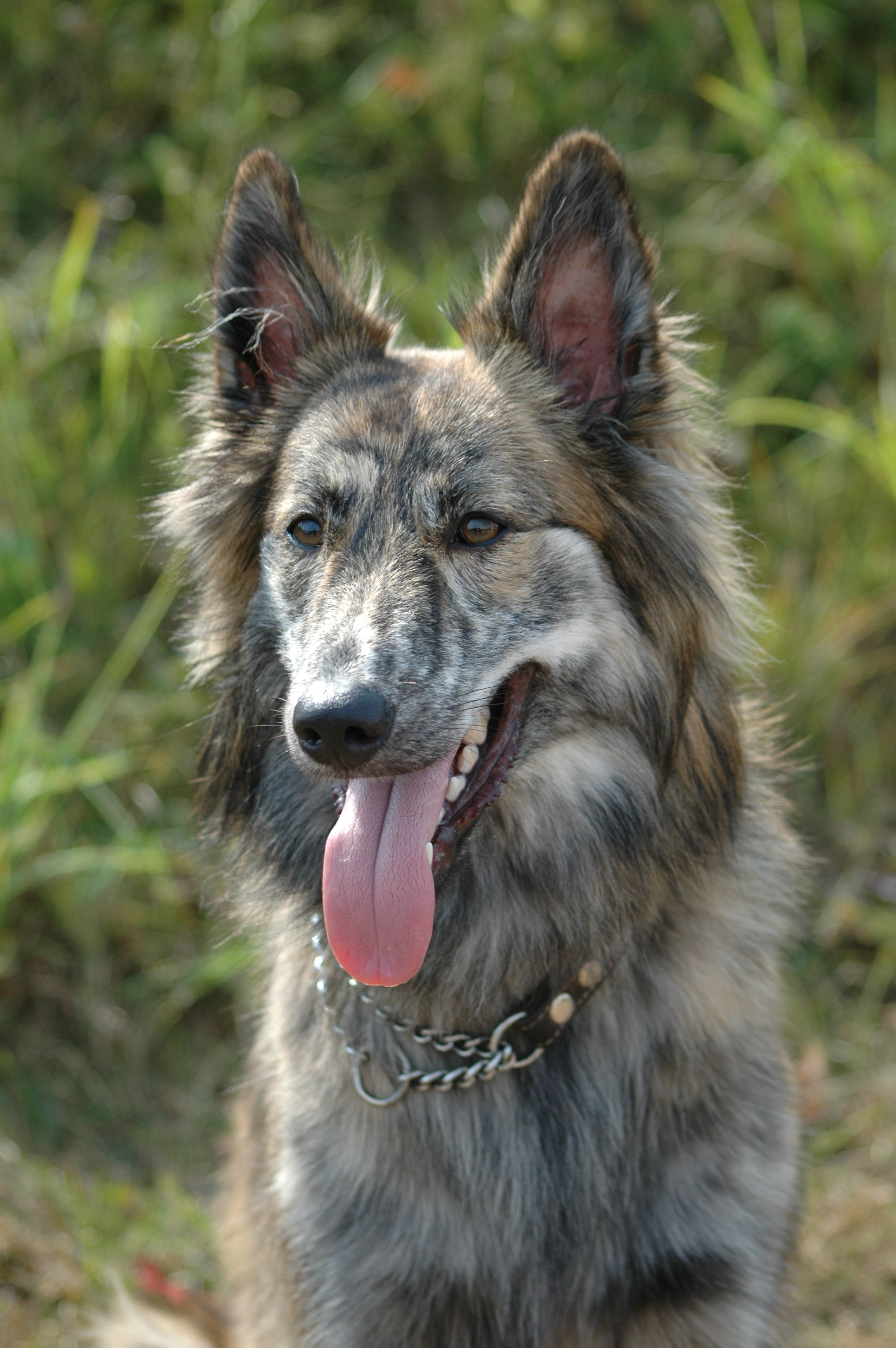 Long Haired German Shepherd Husky Mix Long Haired Husky Hair Dog Breeds Dutch Shepherd Dog Rare Dogs