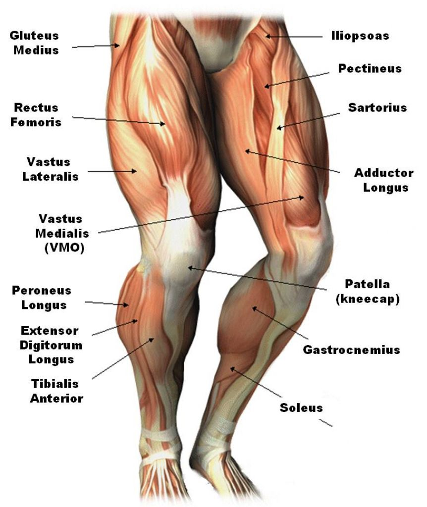 Upper Leg Muscles Common Names Archives Anatomy Body Charts