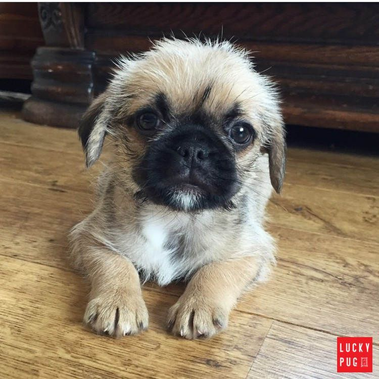 Pizie The Nine Weeks Old Pugzu Puppy Pugmix Pug Mixed Breeds