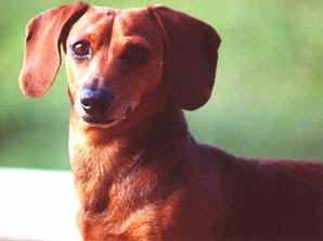 Kentucky Dachshund Rescue Dachshund Rescue Dachshund Dog Items