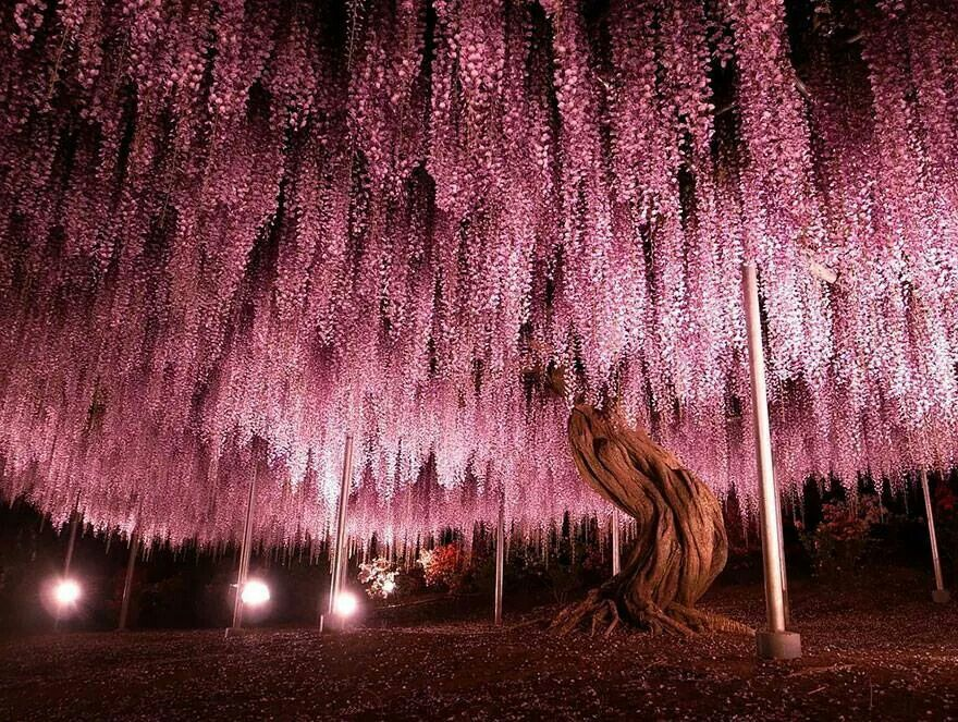 Can T Get Enough Of Pink Trees Wisteria Tree Beautiful Tree Wisteria
