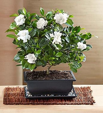Gardenia Bonsai Potted Trees Plants Plant Gifts