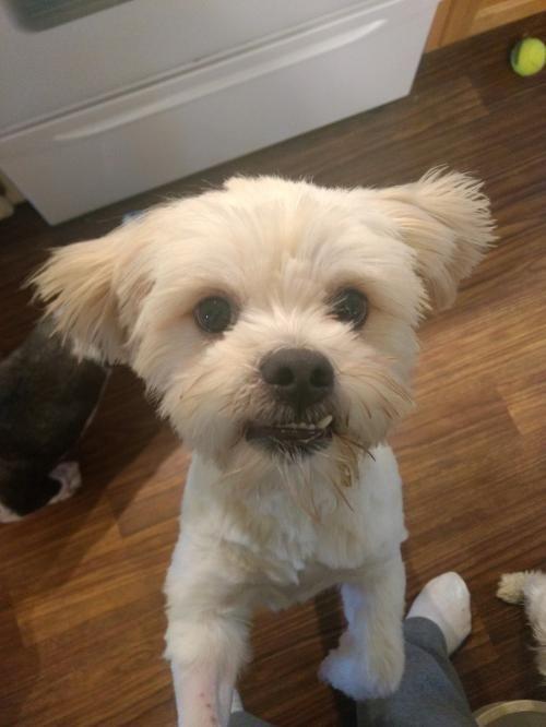 Adopt Scruffy Mcduffy Franklin On Petfinder Shih Tzu Rescue Dogs Lhasa Apso