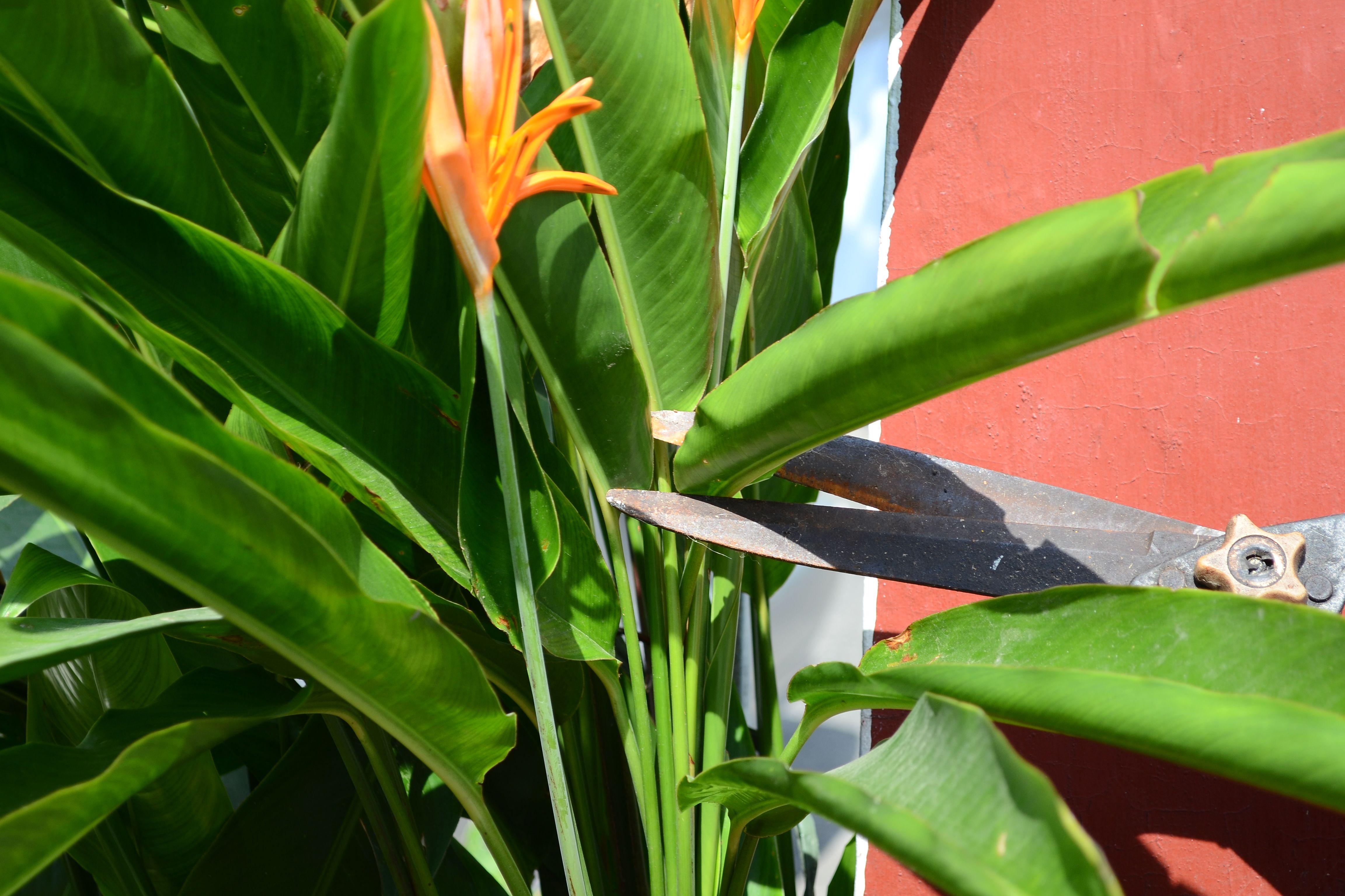 How To Grow Bird Of Paradise Birds Of Paradise Birds Of Paradise Plant Plant Leaves