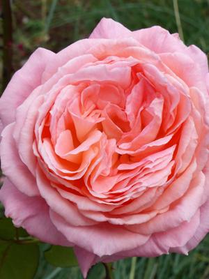 Liv Tyler Rose Bare Root Menagerie Farm Flower Menagerie Farm Flower Rooting Roses Rose Flowers