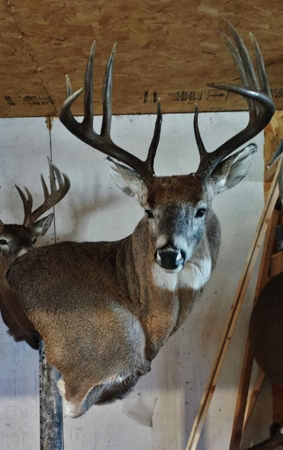 Pin By Kevin Pugh On Deer Taxidermy Ideas Pinterest