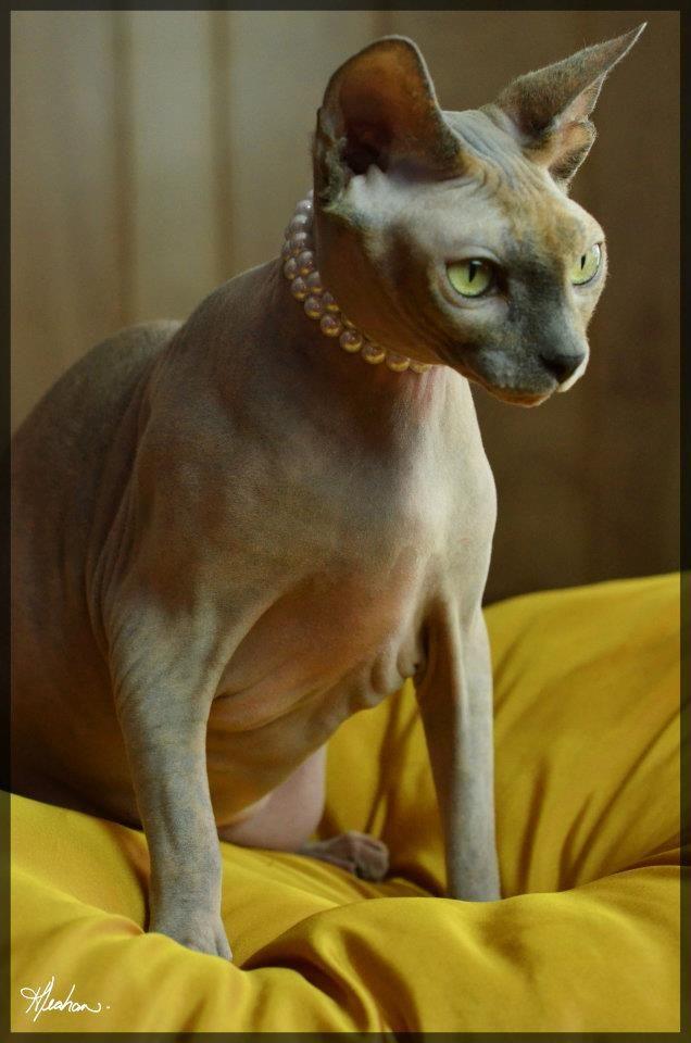 Lola On Her Pillow Hairless Cat Sphynx Cat Sphynx