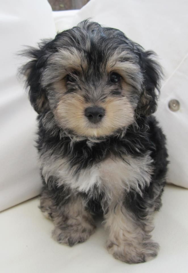 Pin by Micki Larson on Pets Yorkie poo puppies, Dogs
