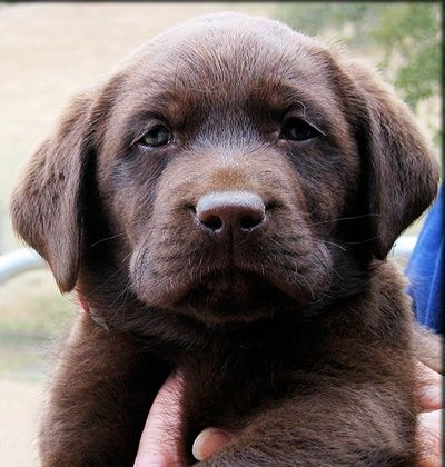 Cute Chocolate Lab Puppy this has to be a male lol such a hoss ( ;