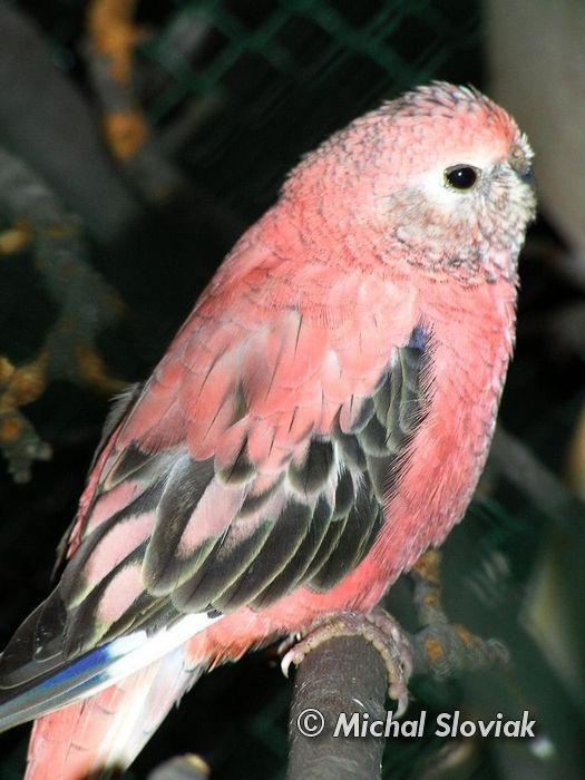 Neopsephotus bourkii - Bourkes Parrot