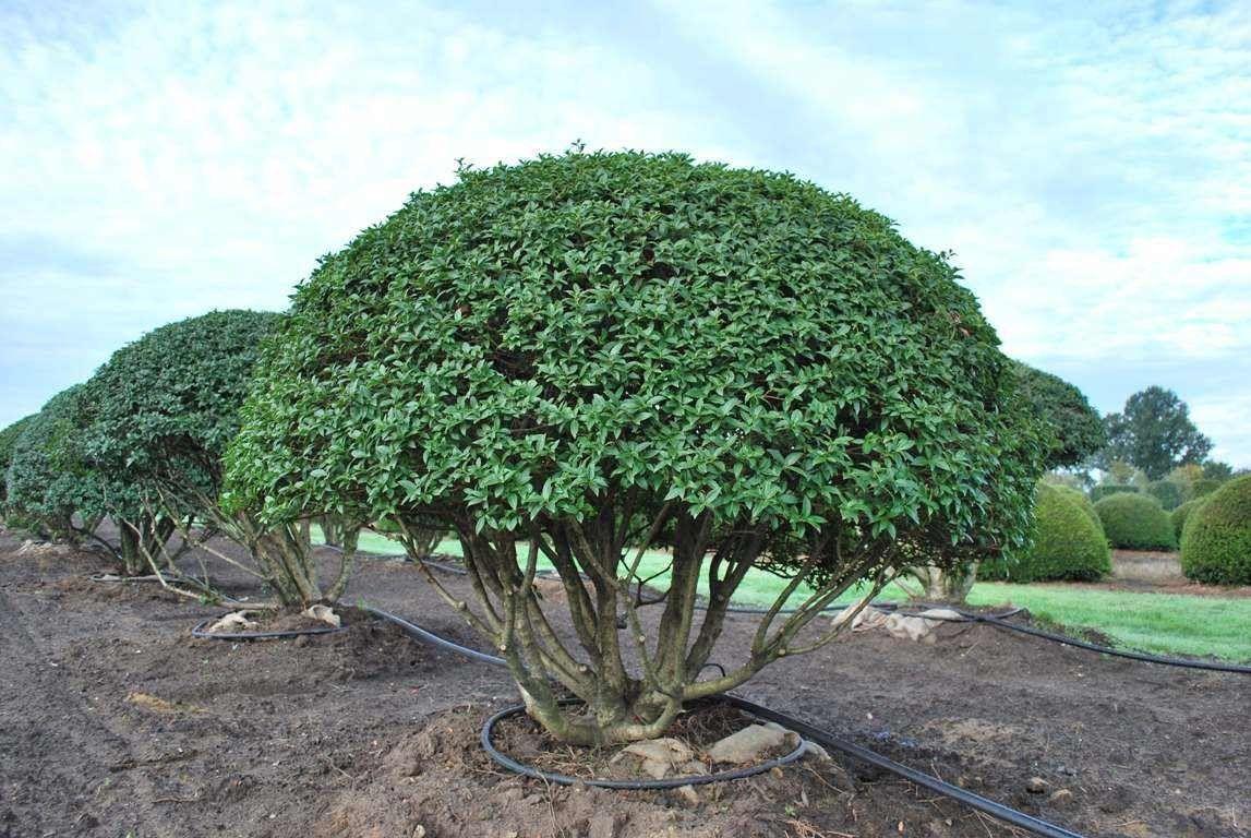 Osmanthus X Burkwoodii T O P I A R Y Garden Garden