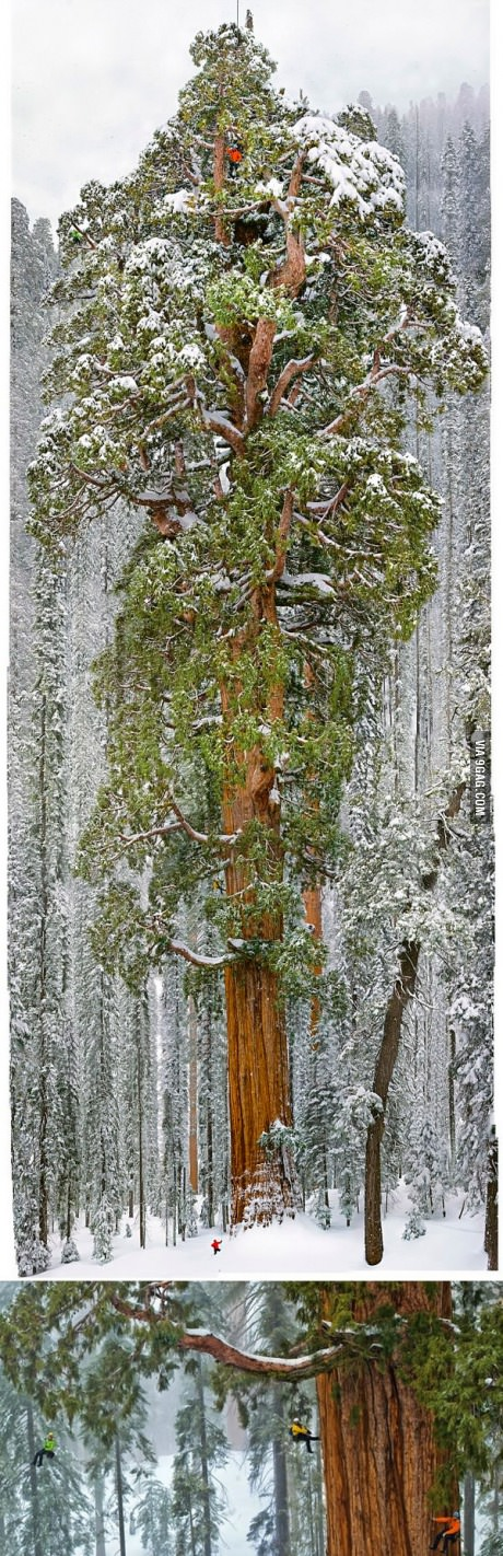 Humans for scale on this 3200 year old tree