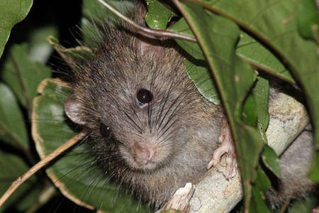 Ryukyu long-tailed giant rat (Diplothrix legata) ケナガネズミ