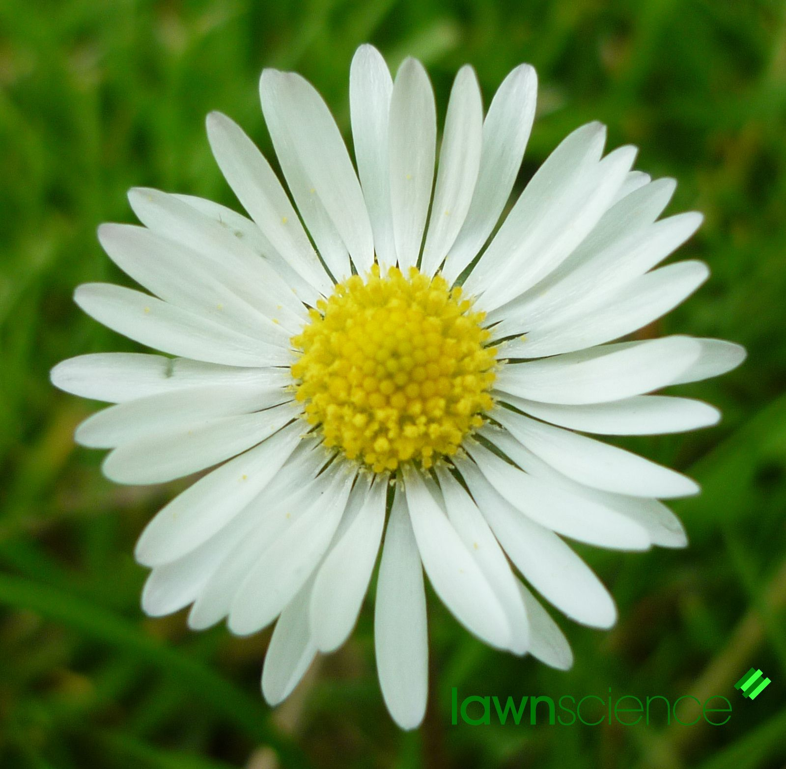 Daisy bellis perennis lawn weeds lawnscience lawn care blog daisy bellis perennis lawn weeds lawnscience lawn care blog dhlflorist Images