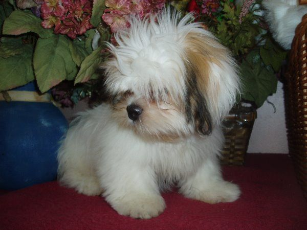 llaso apso puppies | Lhasa Apso Dog Breeder, Sales, Puppies | Lion Dogs Castle-Lhasa Apso