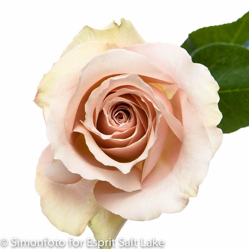 "... "" cream caramel rose 