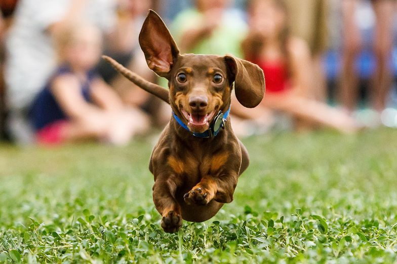 Wiener Dog Races At Boerne Berges Fest Father S Day Weekend