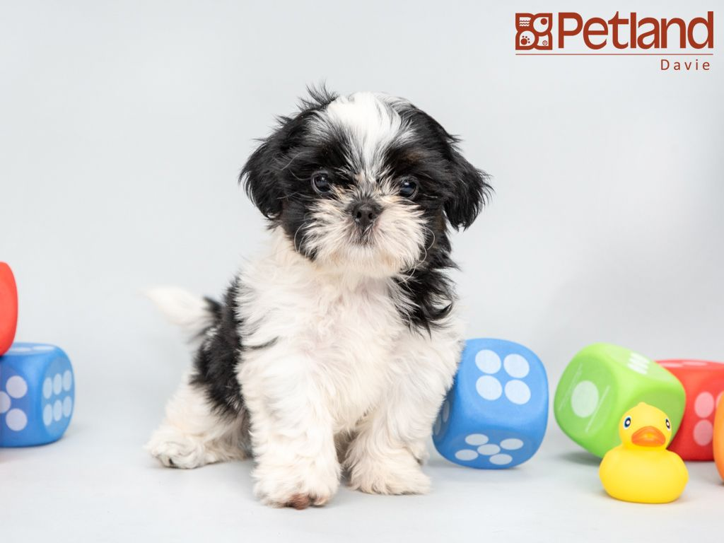 Petland Florida Has Shih Tzu Puppies For Sale Interested In