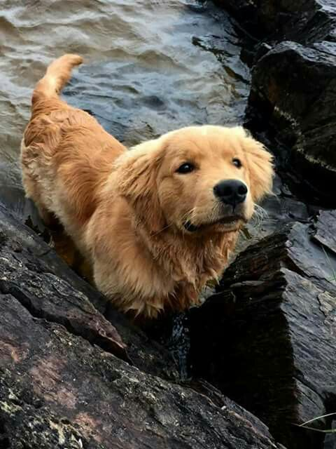 Pin By Sharon York On Dogs Dogs Golden Retriever Cute Dogs