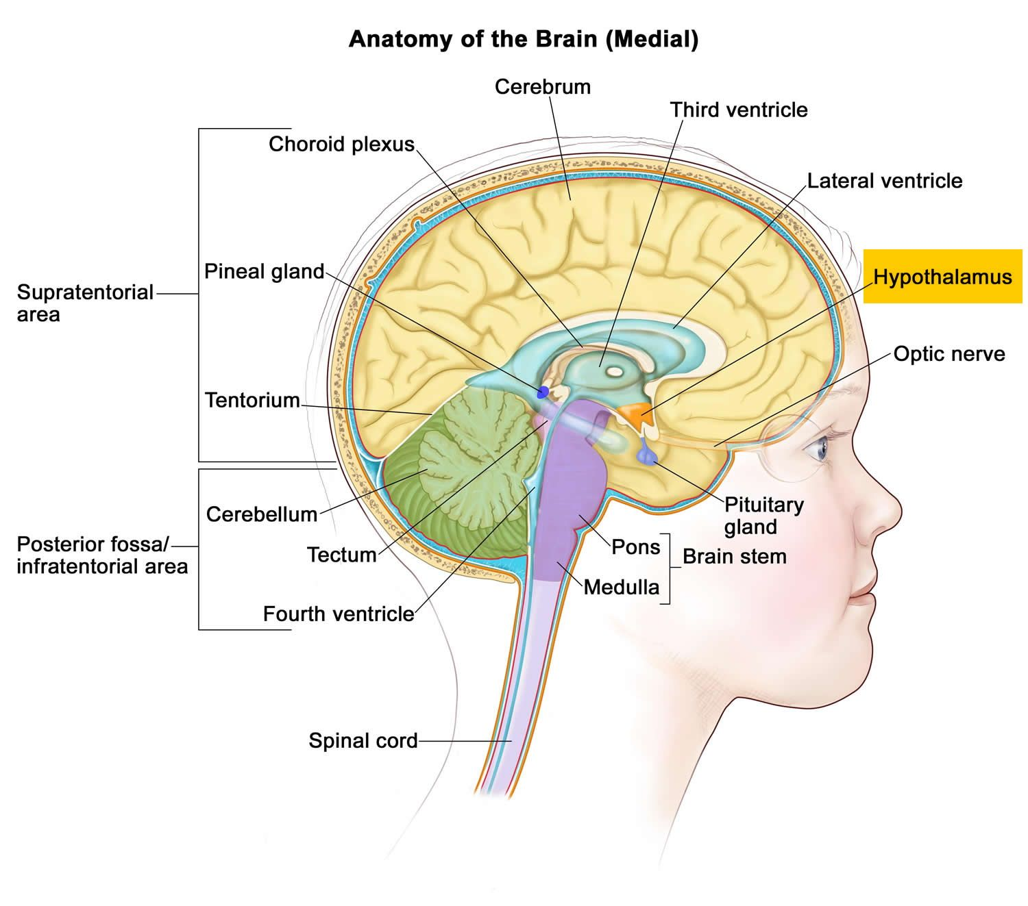 Image Result For Hypothalamus Pineal Gland Brain Diagram Brain Learning