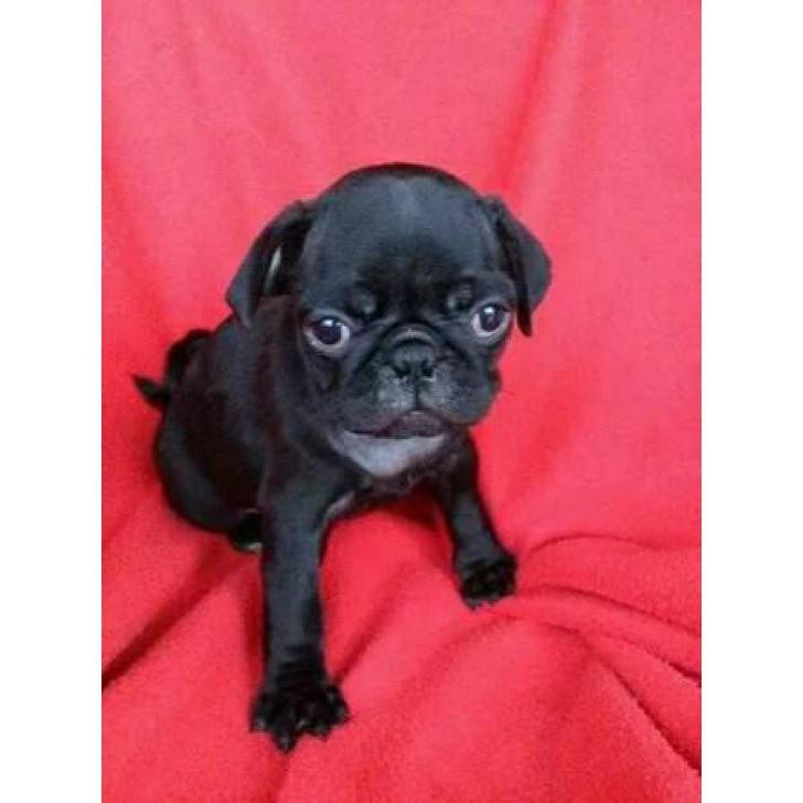 4 Pug Puppies For Rehoming Puppies For Sale Pinterest Pug Puppies