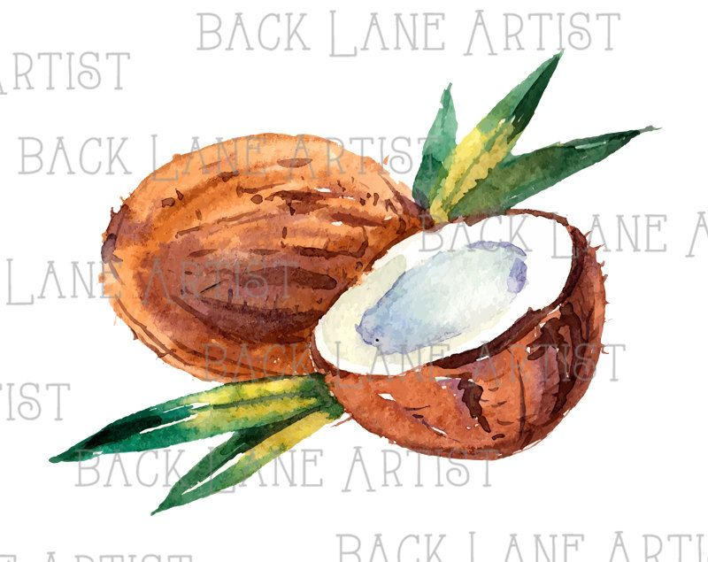 Fruits Coconut Watercolor Drawing Clipart Lineart Illustration