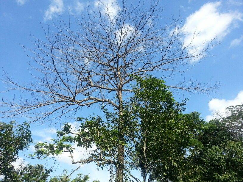 *A Leafless Tree ~ Singapore Zoo*