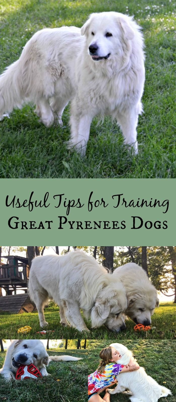 Need Tips On How To Train Great Pyrenees Pyrs Are Smart And