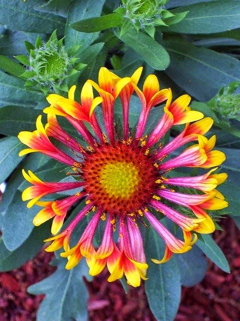 Gallardia a.k.a. Blanket Flower is used for dry, sunny areas.