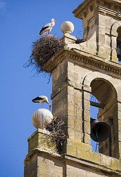 Two European white storks (Ciconia ciconia) and their nests on a convent bell tower, against a blue sky, Santo Domingo, La Rioja, Spain