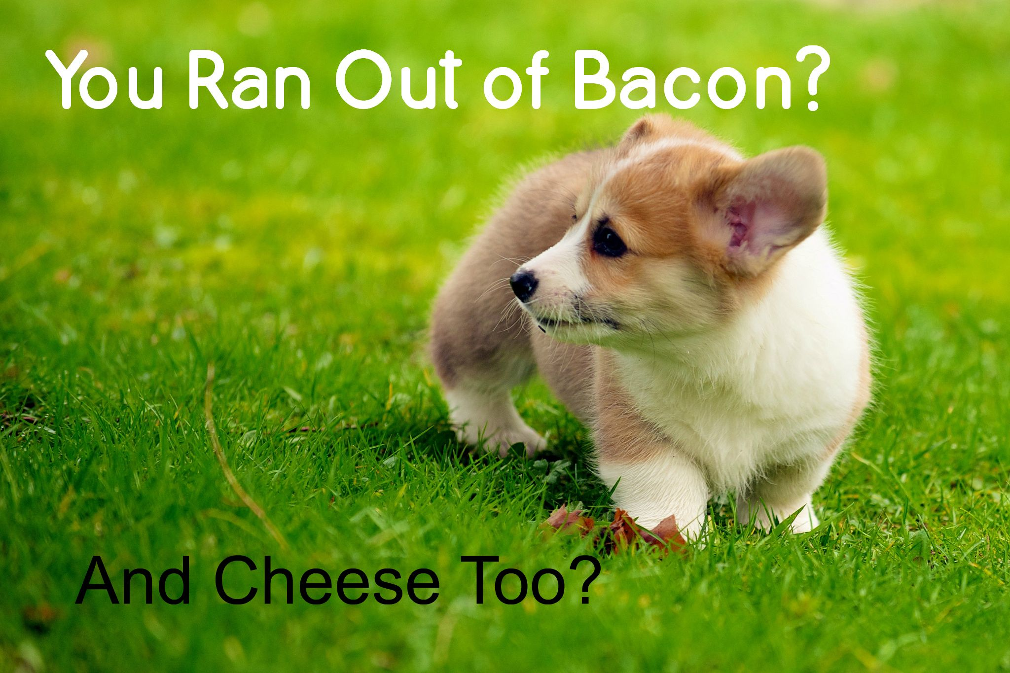 Out Of Bacon Corgi Puppies For Sale Puppy Meme