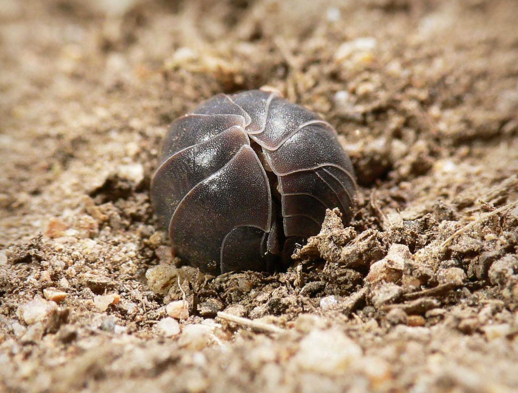 Colorado Potato Beetle On The White