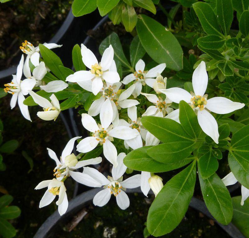 Choisya Ternata Mexican Orange Blossom Online From Jacksons Nurseries