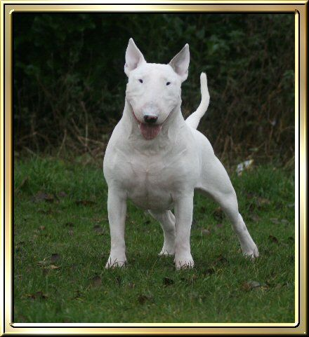 The Beautiful Marshall Rip Terriers Pinterest Bull Terrier