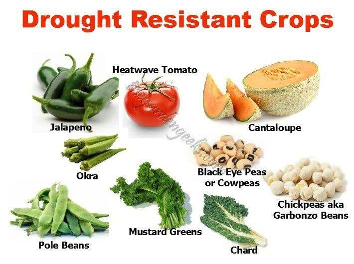 Drought resistant crops | Gardening / Yard | Edible garden