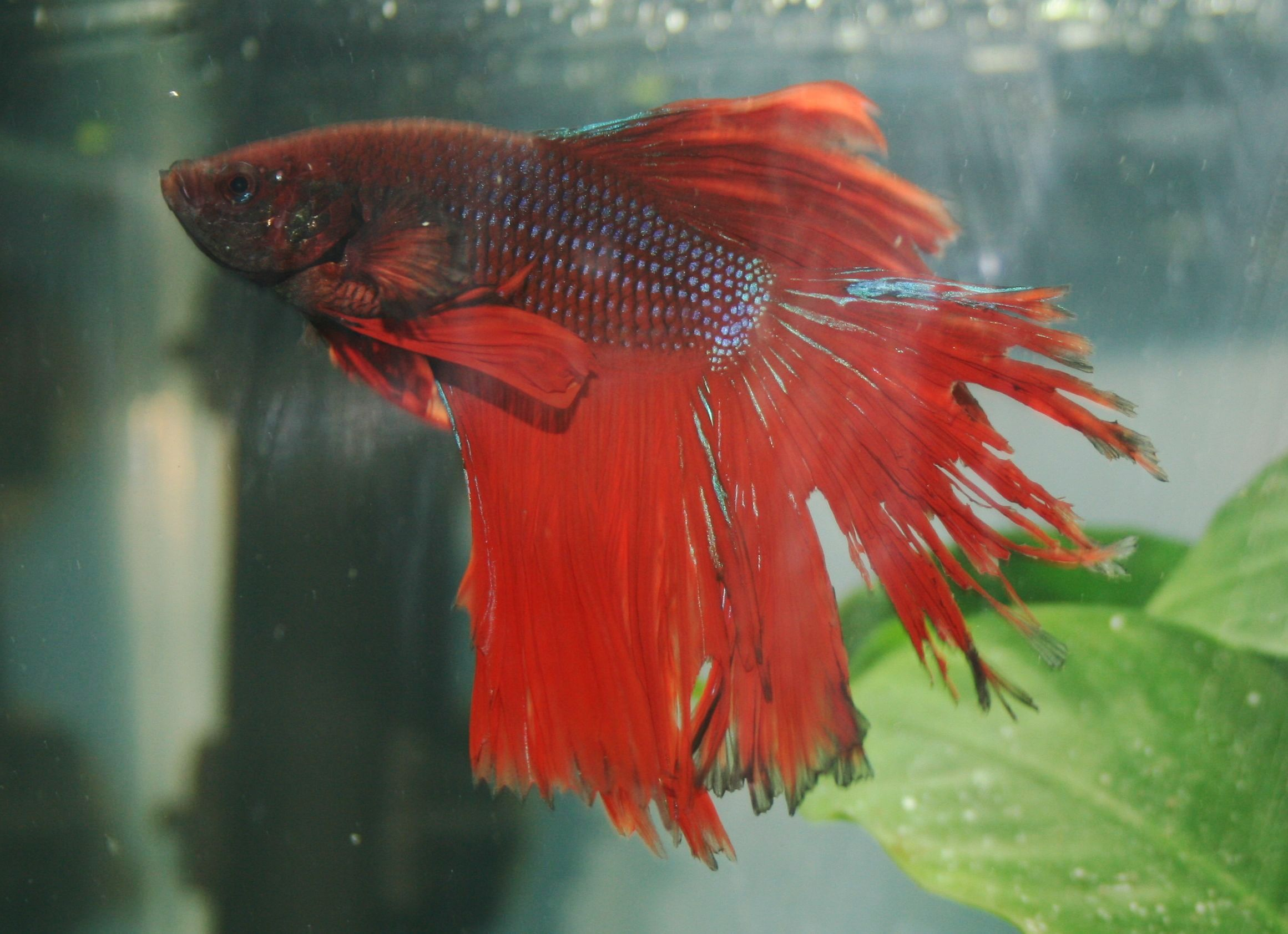 fin and tail rot in betta fish sick betta fish