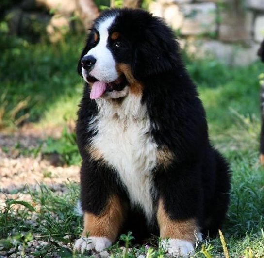 Bernese Mountain Dog How S This For A Best Buddy Such Great