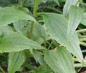 Echinacea The Purple Coneflower Perennial Echinacea Perennials Plant Leaves