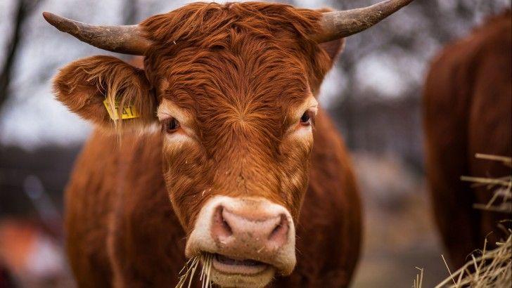 Vaca Masticando