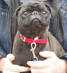 Adopt Bugsy On Buffalo Animal Adoption Pug Dog