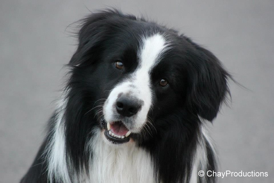 Ijaro Border Collie | Pawshake Mechelen