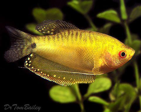 Gold Gouramis For Sale Aquarium Fish Fresh Water Fish Tank Tropical Fish