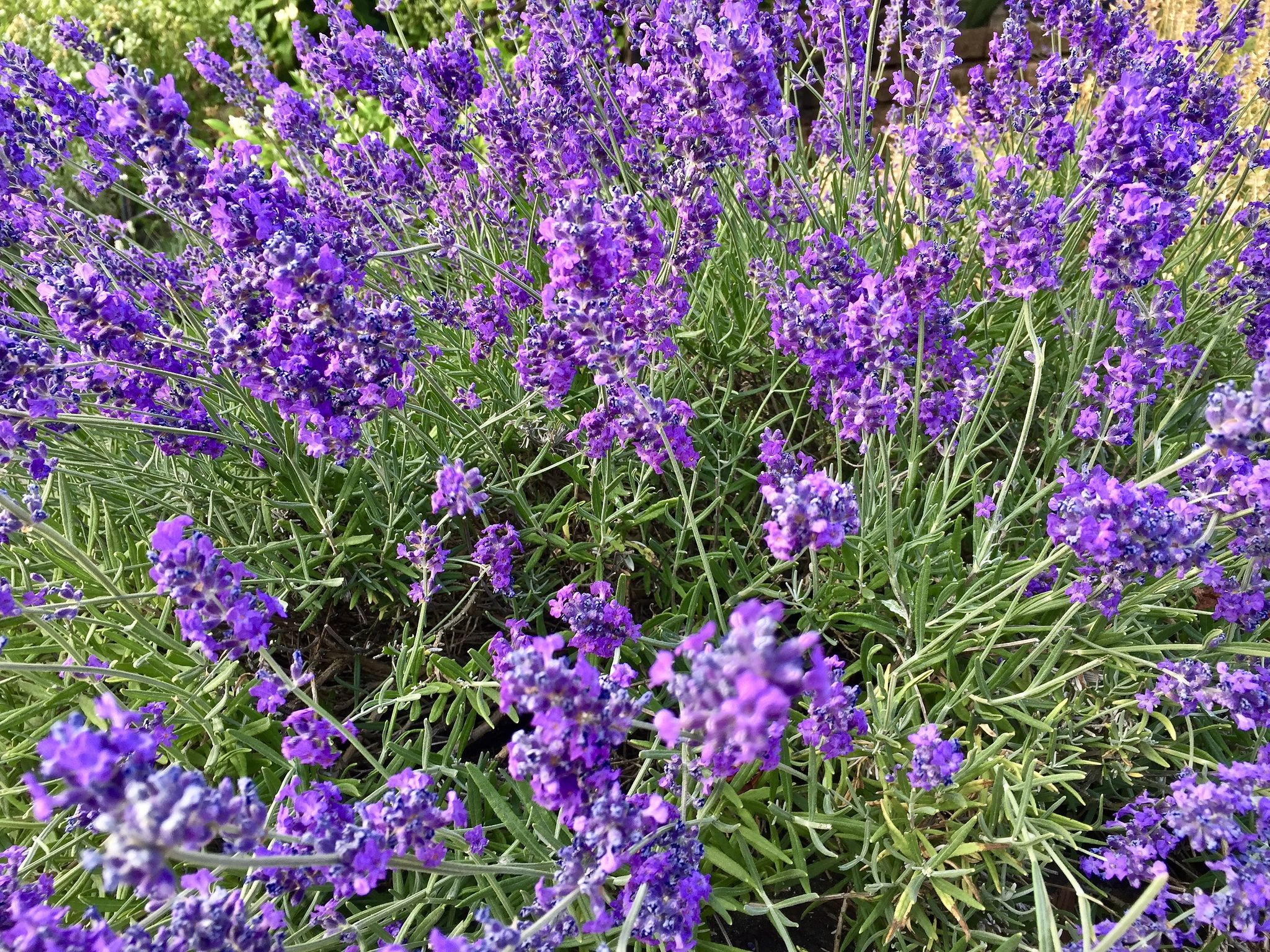 2017 YIP Day 191 Purple Insect repellent plants, Pet